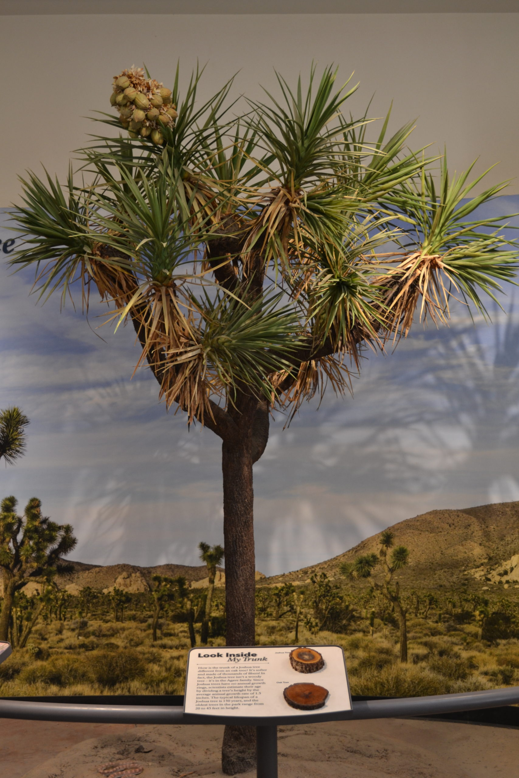 Joshua-Tree-National-Park-Visitor-Center-hiking-camping-tour-adventure-Age-Of-Tree-Exhibit