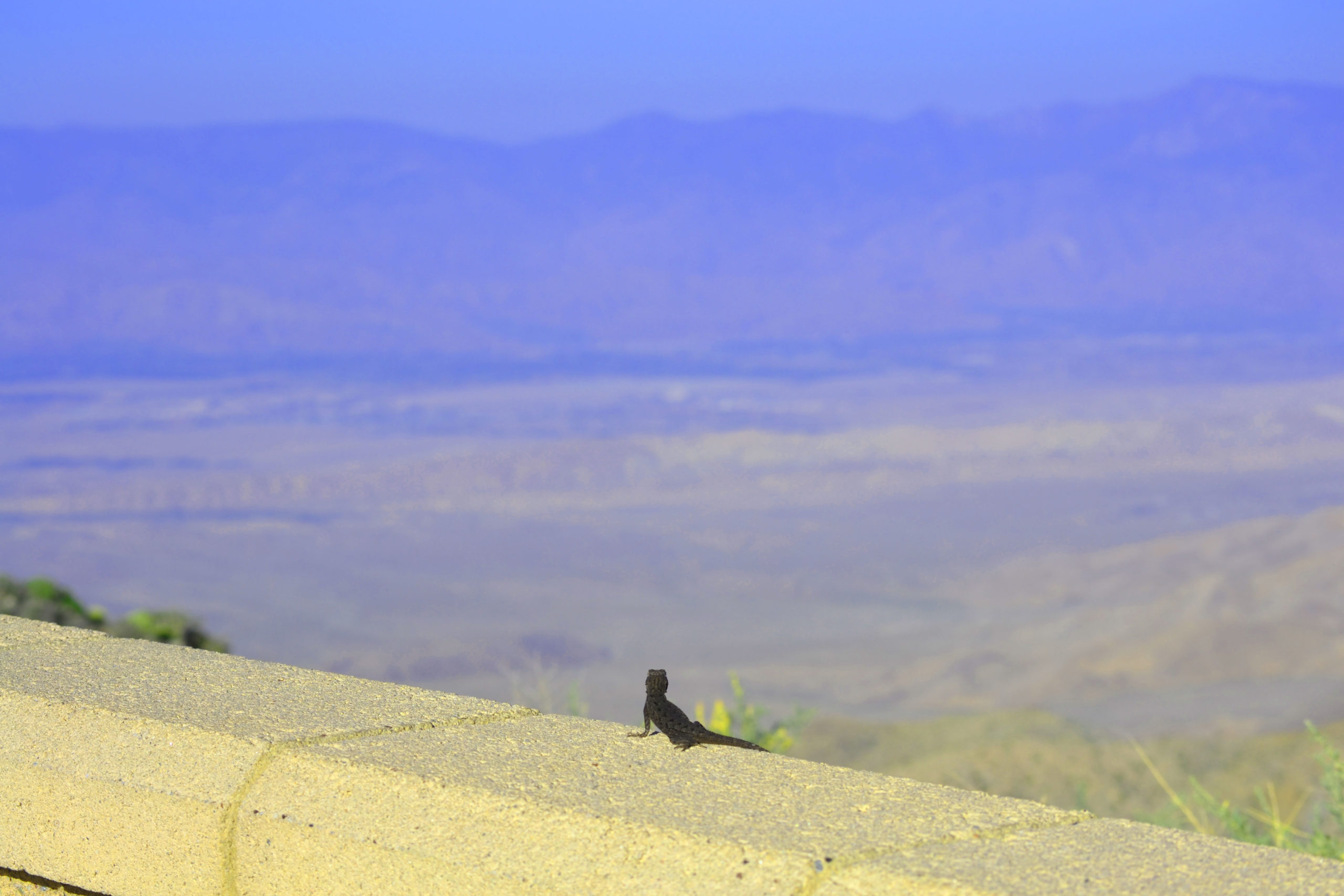 joshua-tree-national-park-adventure-tour-hiking-climbing-camping-black-lizard-looking-out-from-keys-view